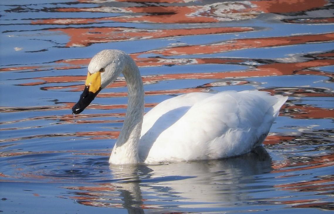 Лебедь малый Вологодской области