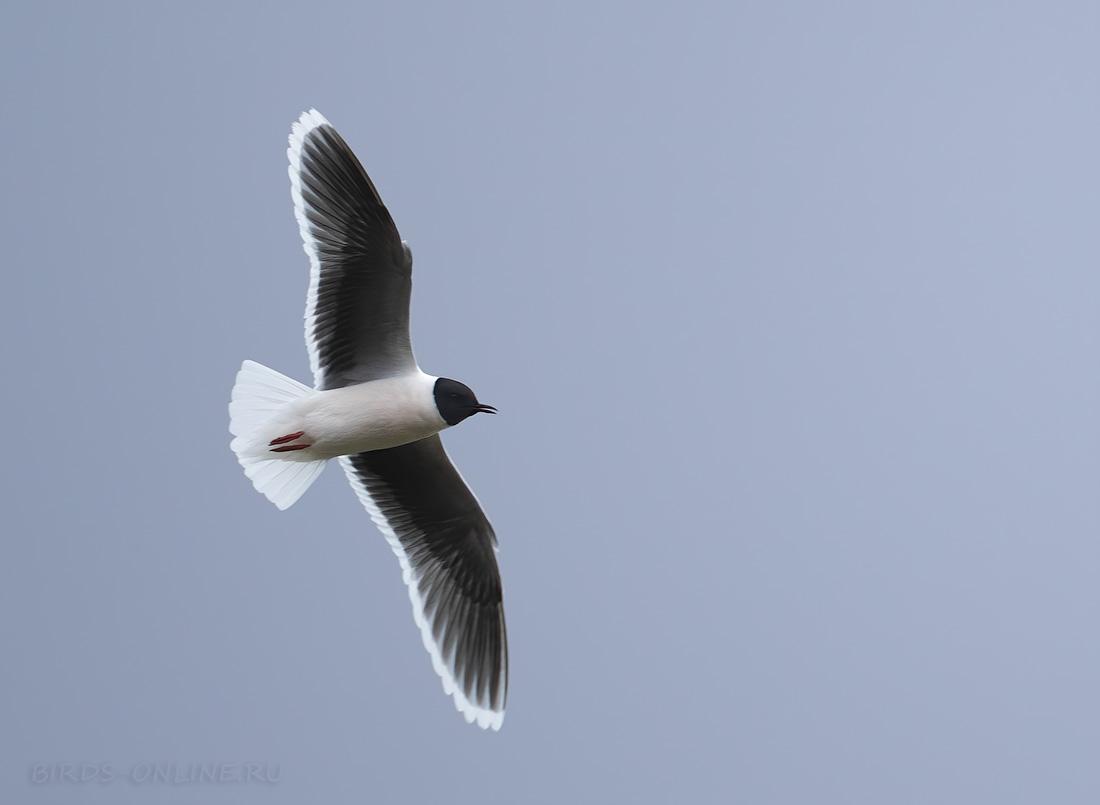 Малая чайка в Тамбовской области