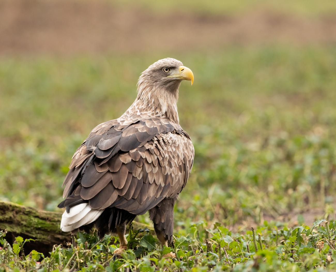 Орлан белохвост Вологодской области