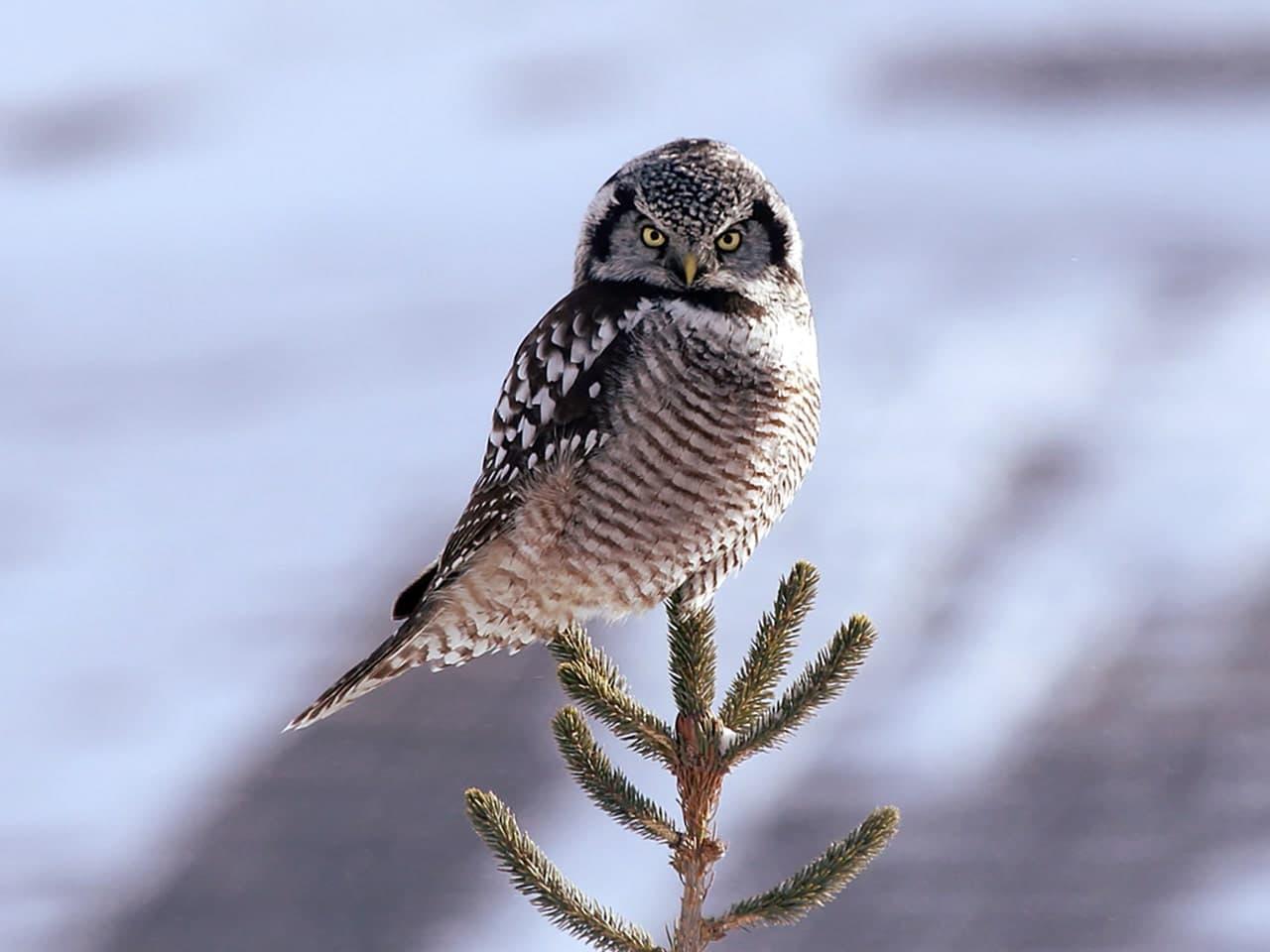 Ястребиная сова Вологодской области