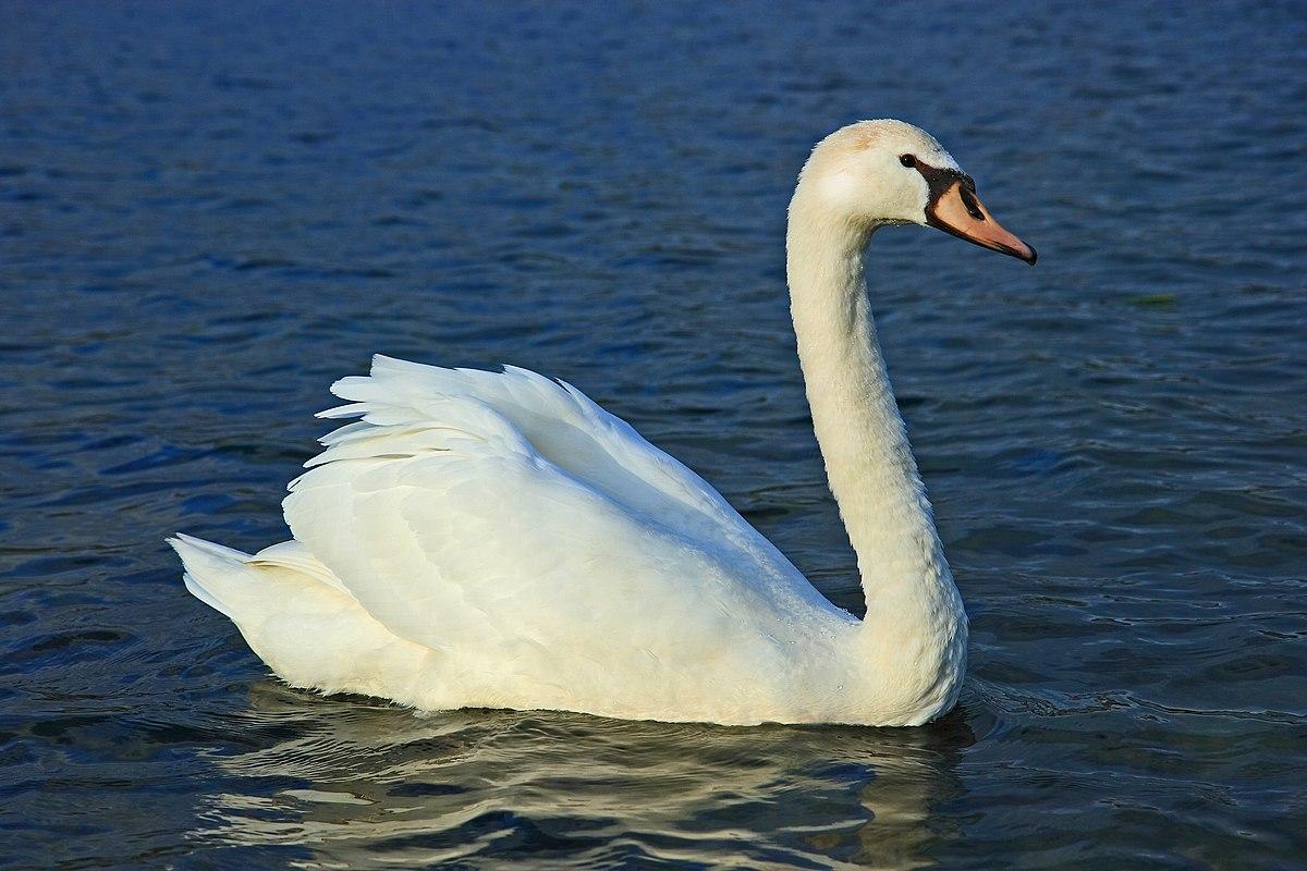 Лебедь-шипун в Рязанской области фото