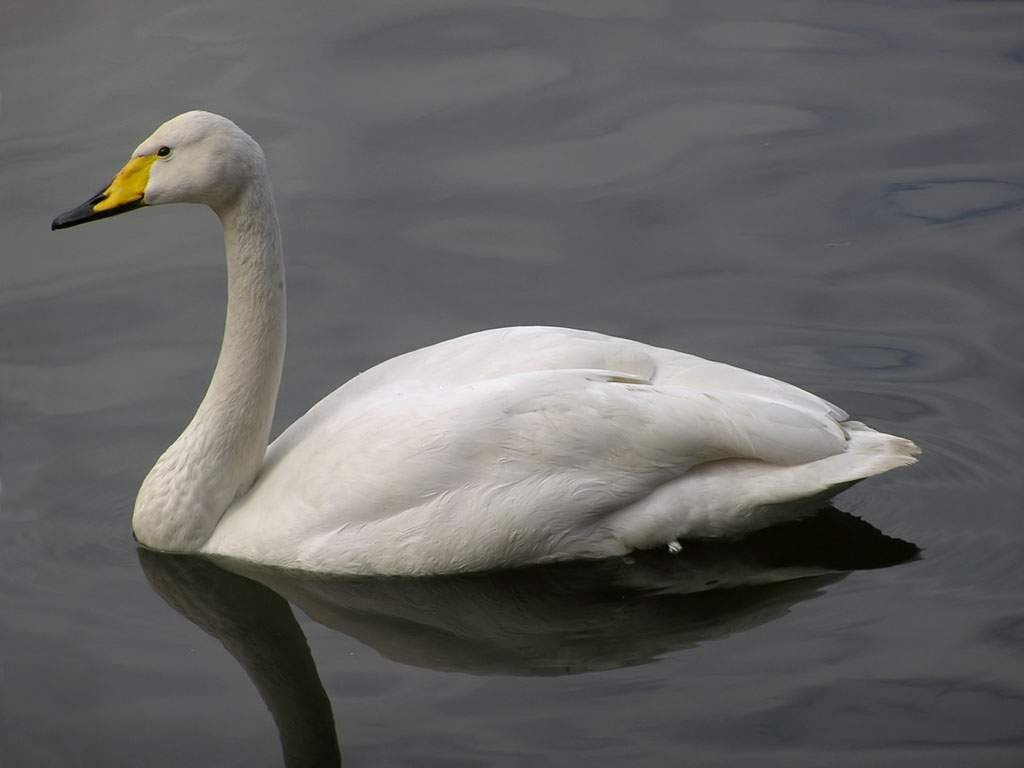 Лебедь-кликун в Рязанской области фото