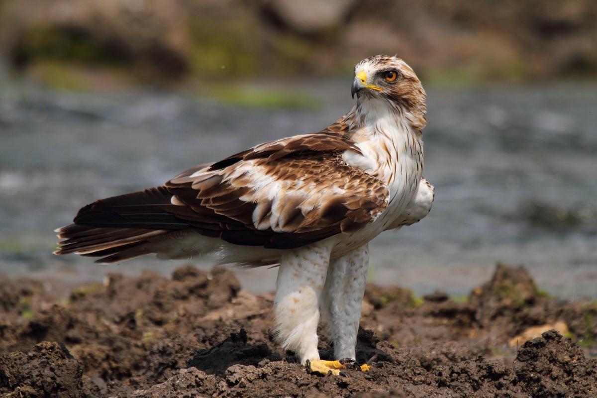 Орел-карлик в Рязанской области фото