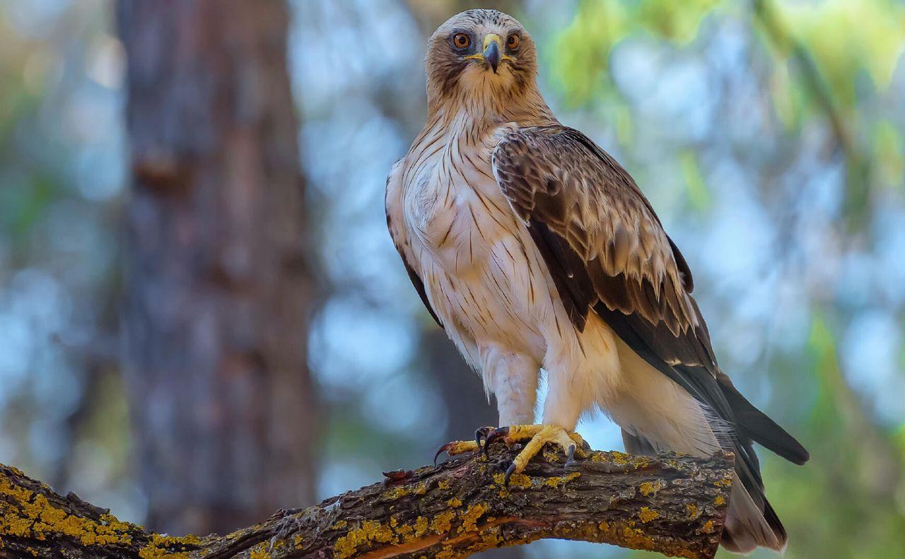 Орел-карлик в Тамбовской области