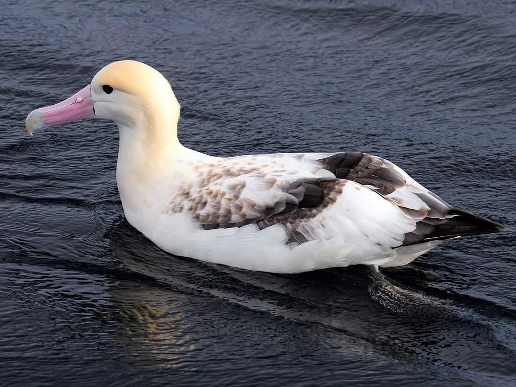 Альбатрос белоспинный на Камчатке фото