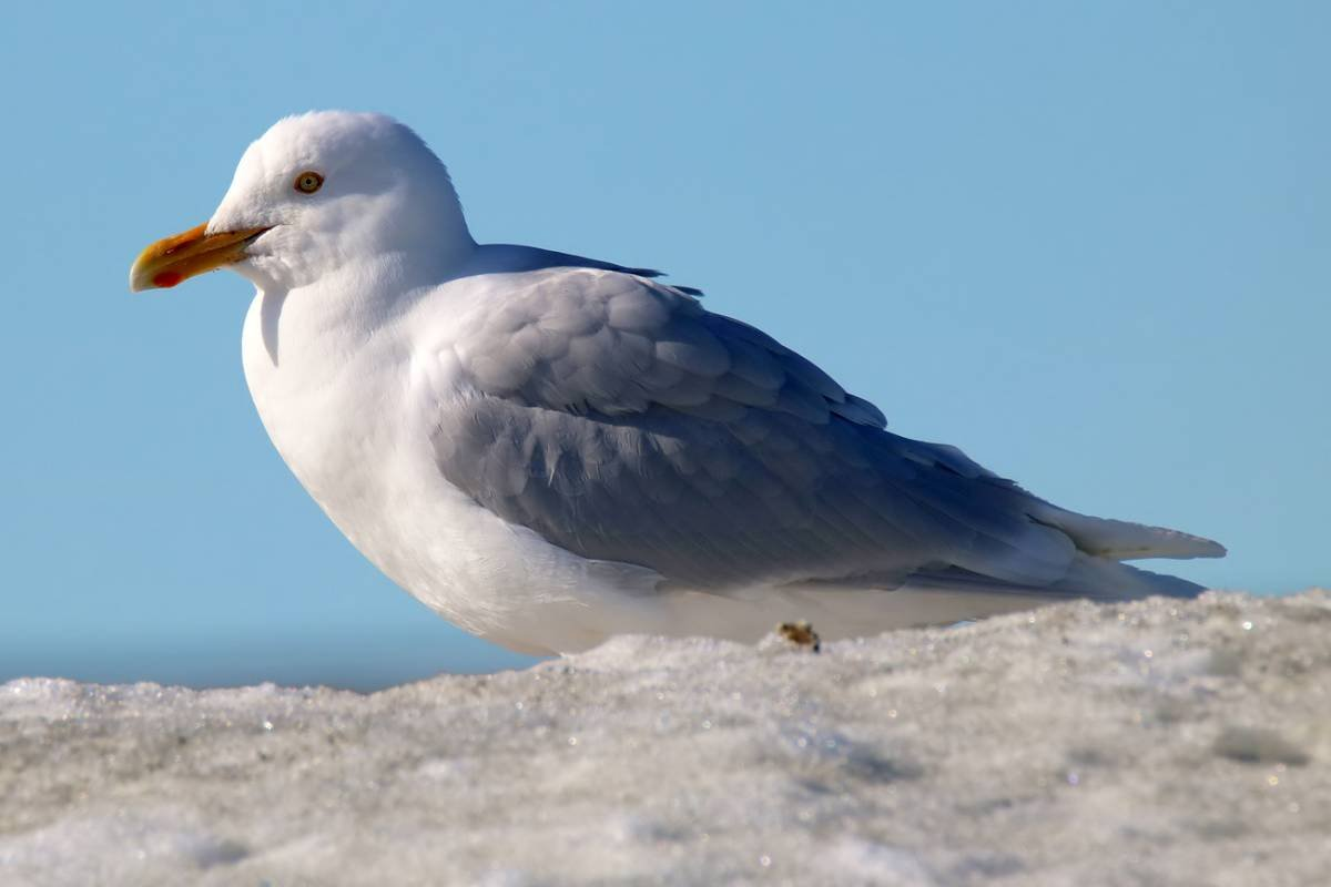 Бургомистр (Чайка большая полярная) на Камчатке фото