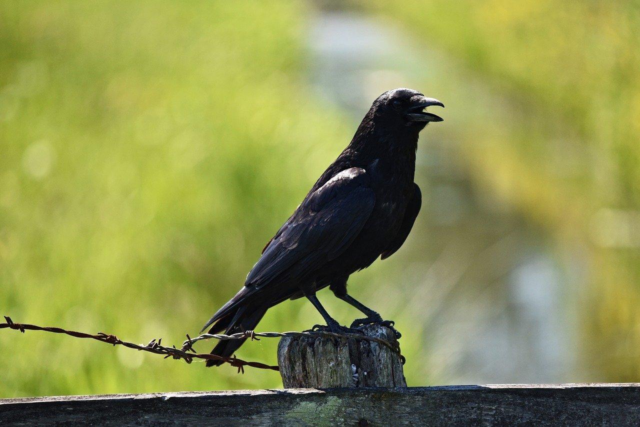 Ворона черная на Камчатке фото