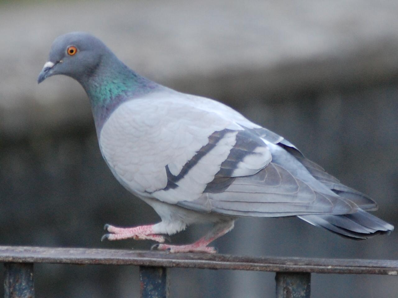Голубь сизый на Камчатке фото