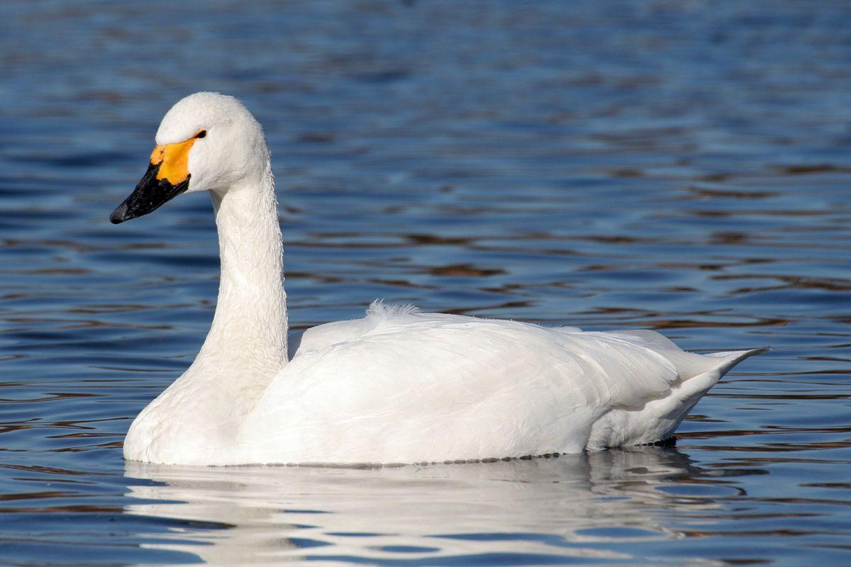 Лебедь малый на Камчатке фото