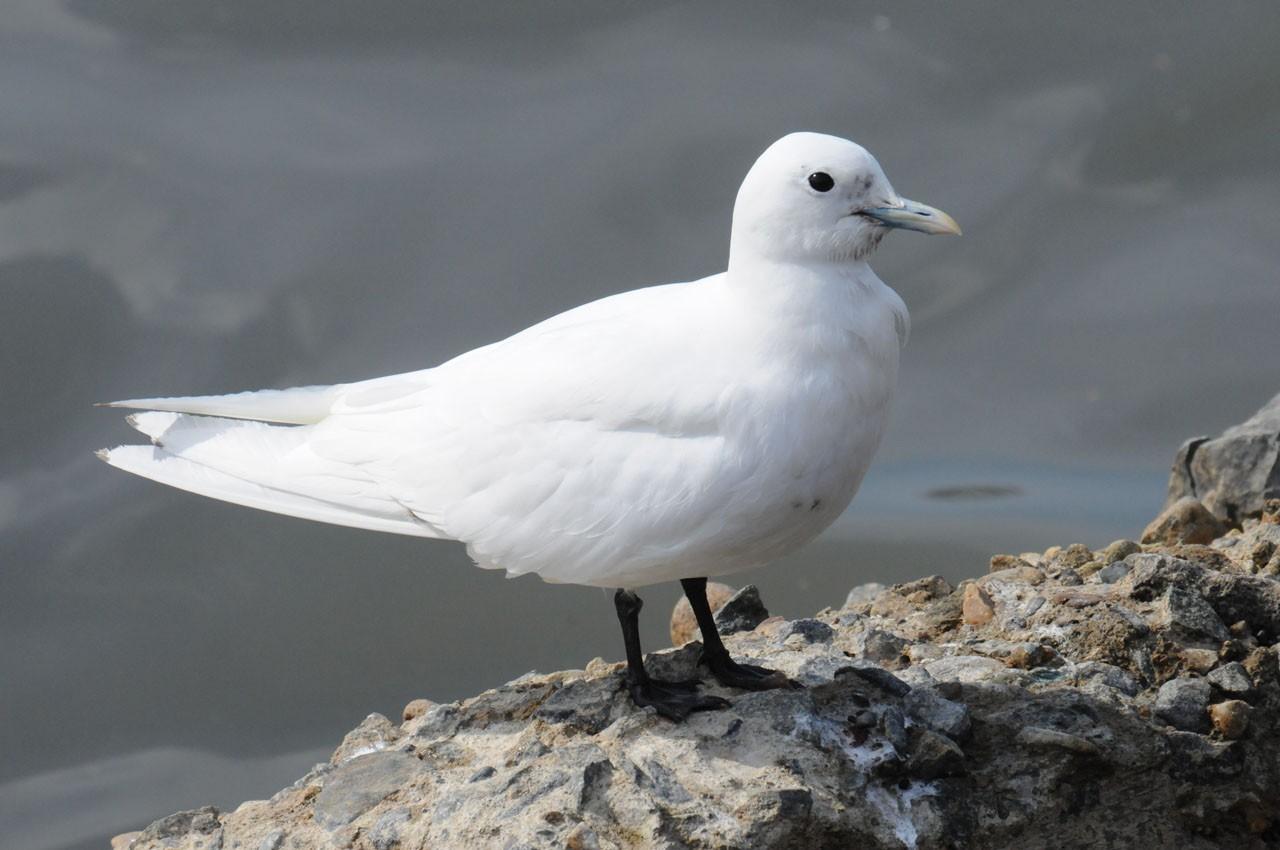 Чайка белая на Камчатке фото