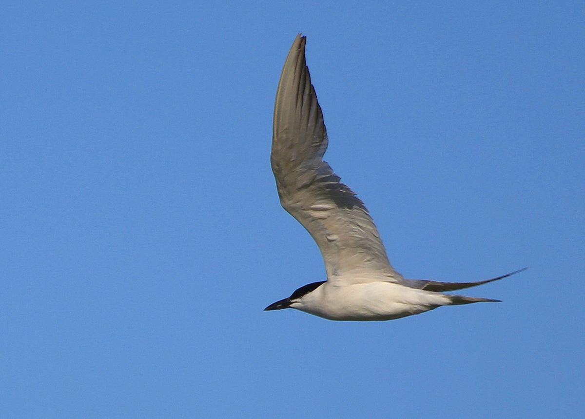 Крачка чайконосая в Астраханской области фото