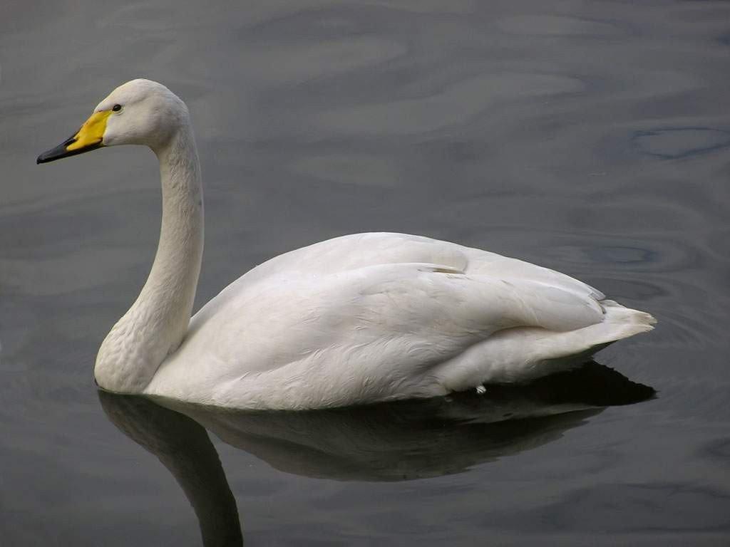 Лебедь-кликун в Астраханской области фото