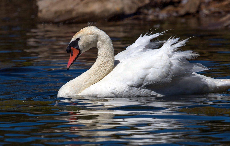 Лебедь-шипун в Астраханской области фото