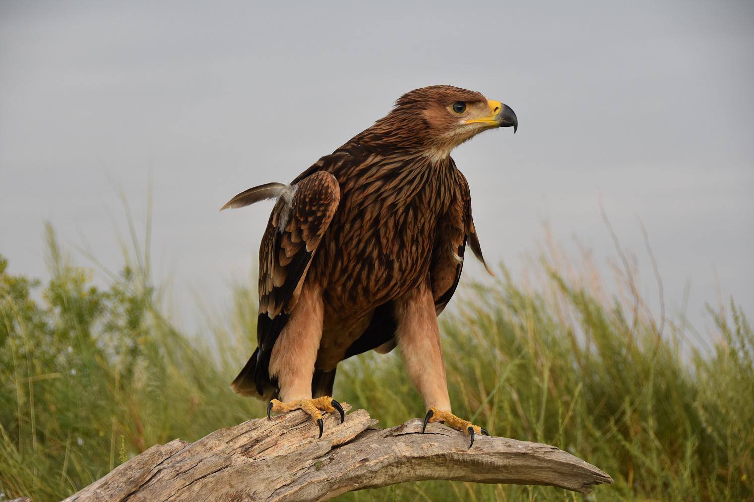 Орел степной в Астраханской области фото