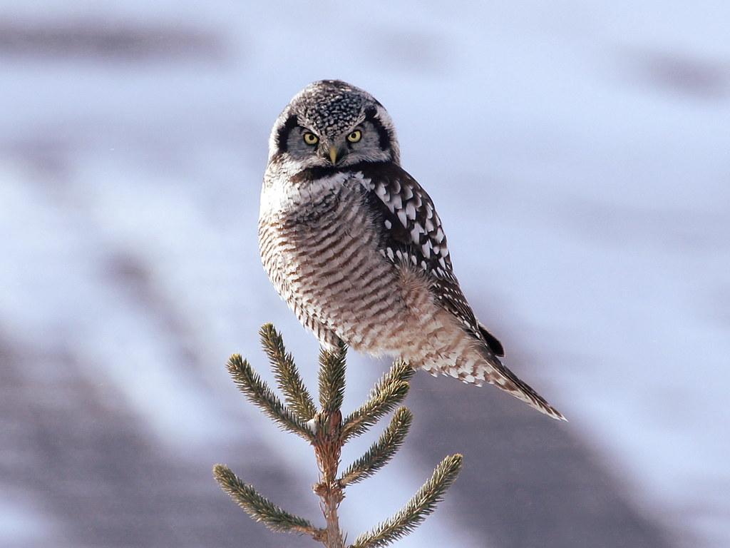 Ястребиная сова в Курганской области фото