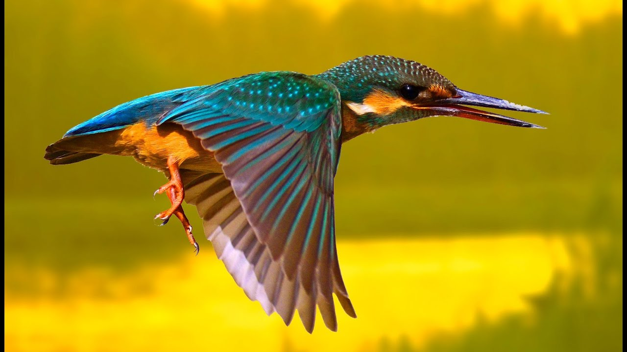 Обыкновенный зимородок в Липецкой области фото