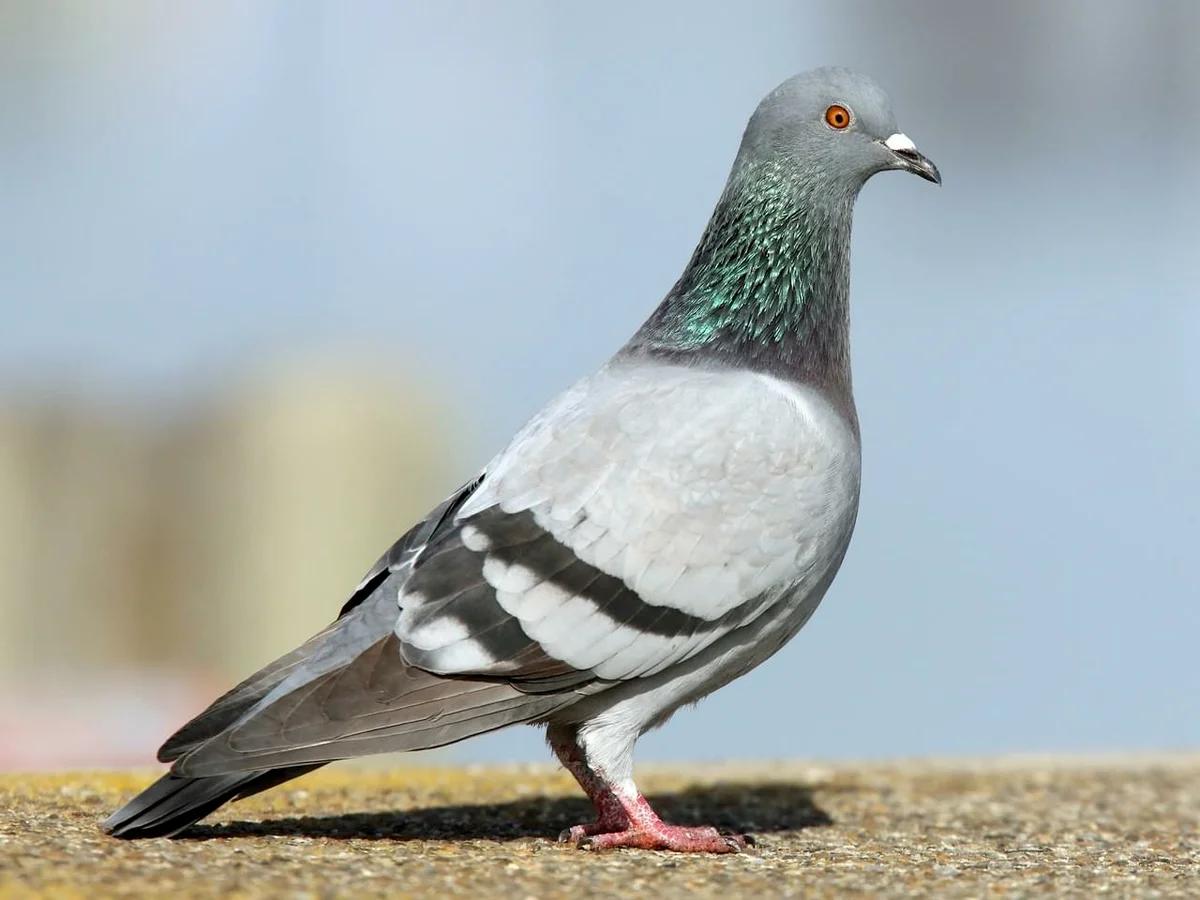 Сизый голубь в Липецкой области фото