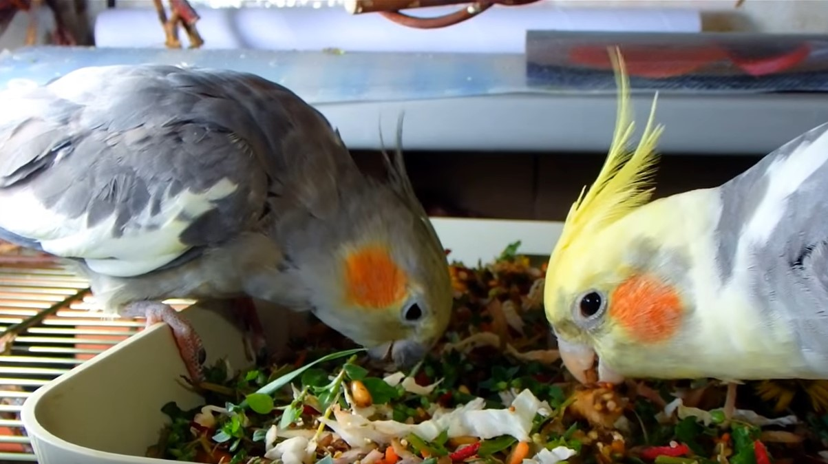 рацион попугаях корелла