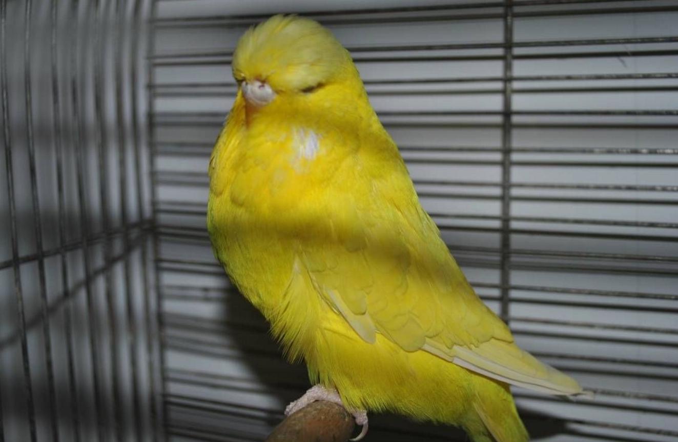 корелла окрасом оперения жёлтый