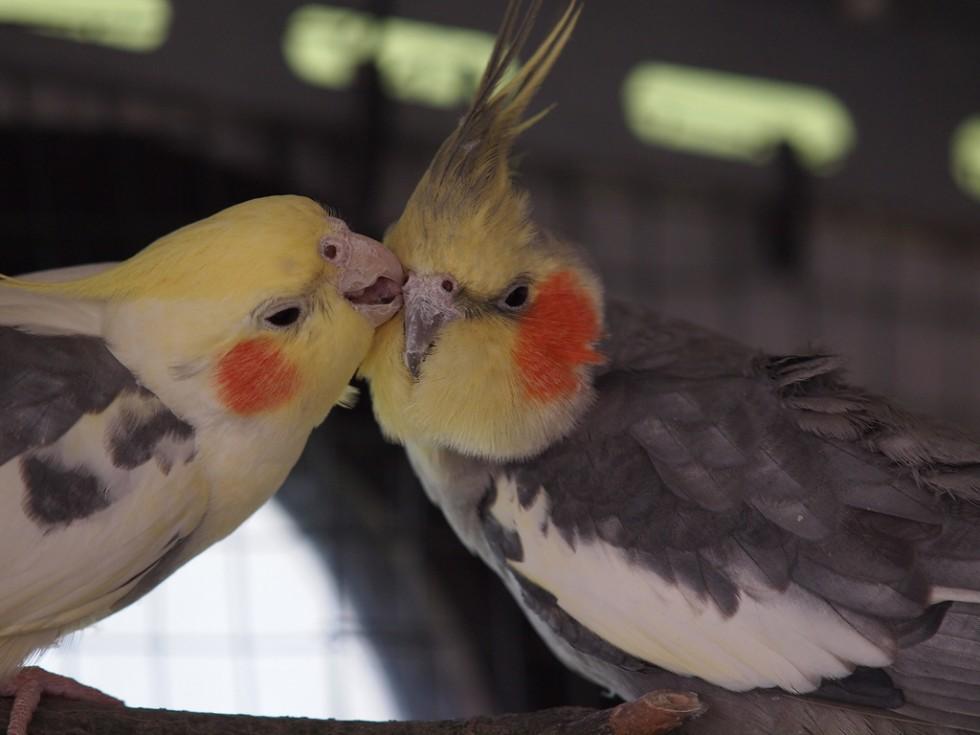 о попугаях корелла