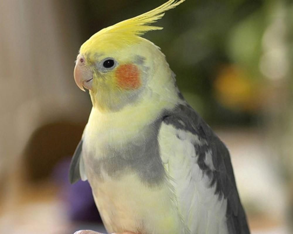 разведение попугая корелла