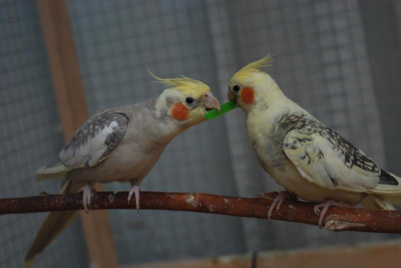 питание попугая корелла