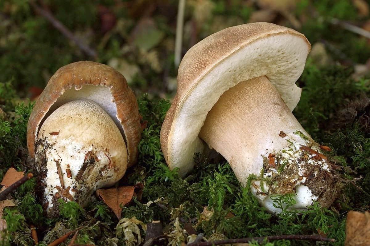 Белый гриб дубовый в Подмосковье фото