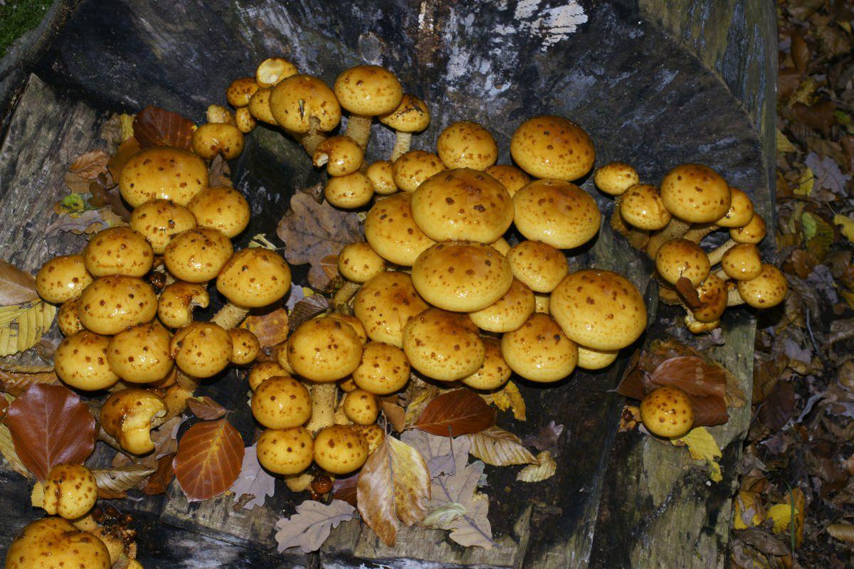 Чешуйчатка обыкновенная в Ленинградской области фото