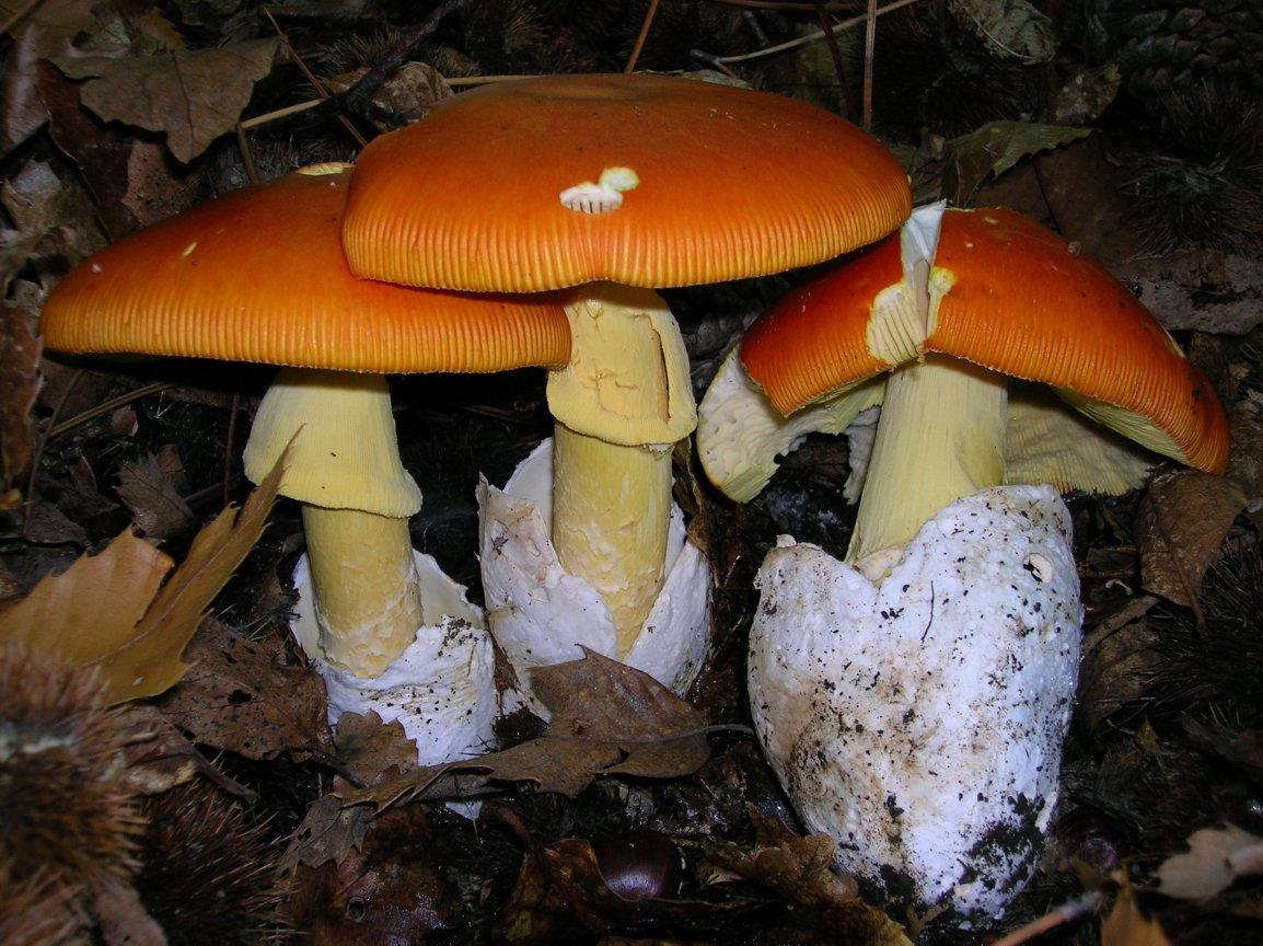 Кесарев гриб в Крыму