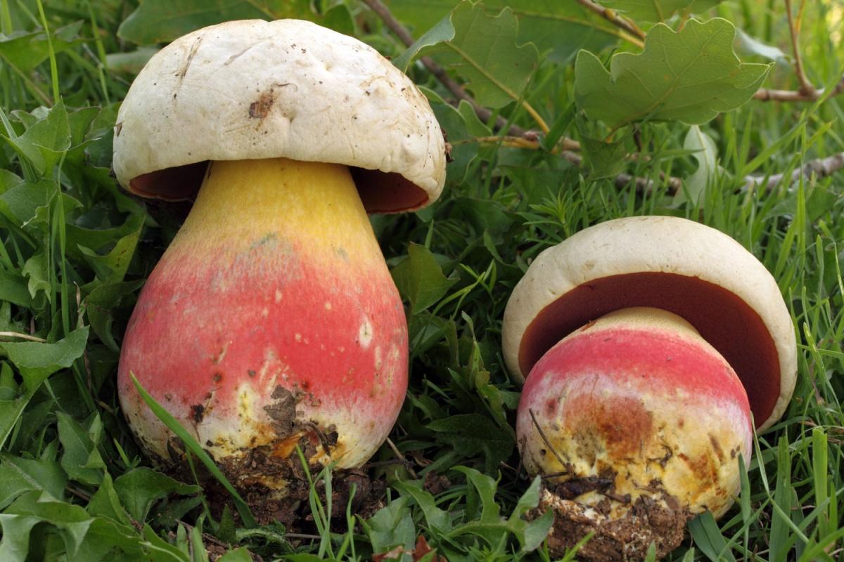 Сатанинский гриб в Крыму фото