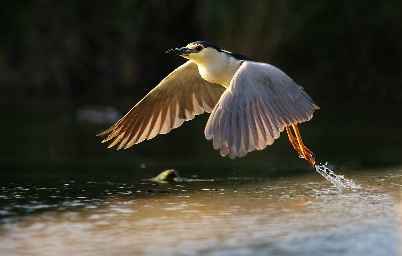 Кваква обыкновенная в Закарпатье фото
