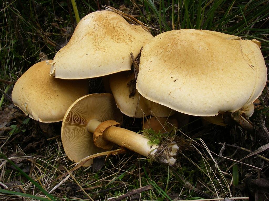 Чешуйчатка травяная (чешуйчатка золотая) в Краснодарском крае и Адыгеи фото