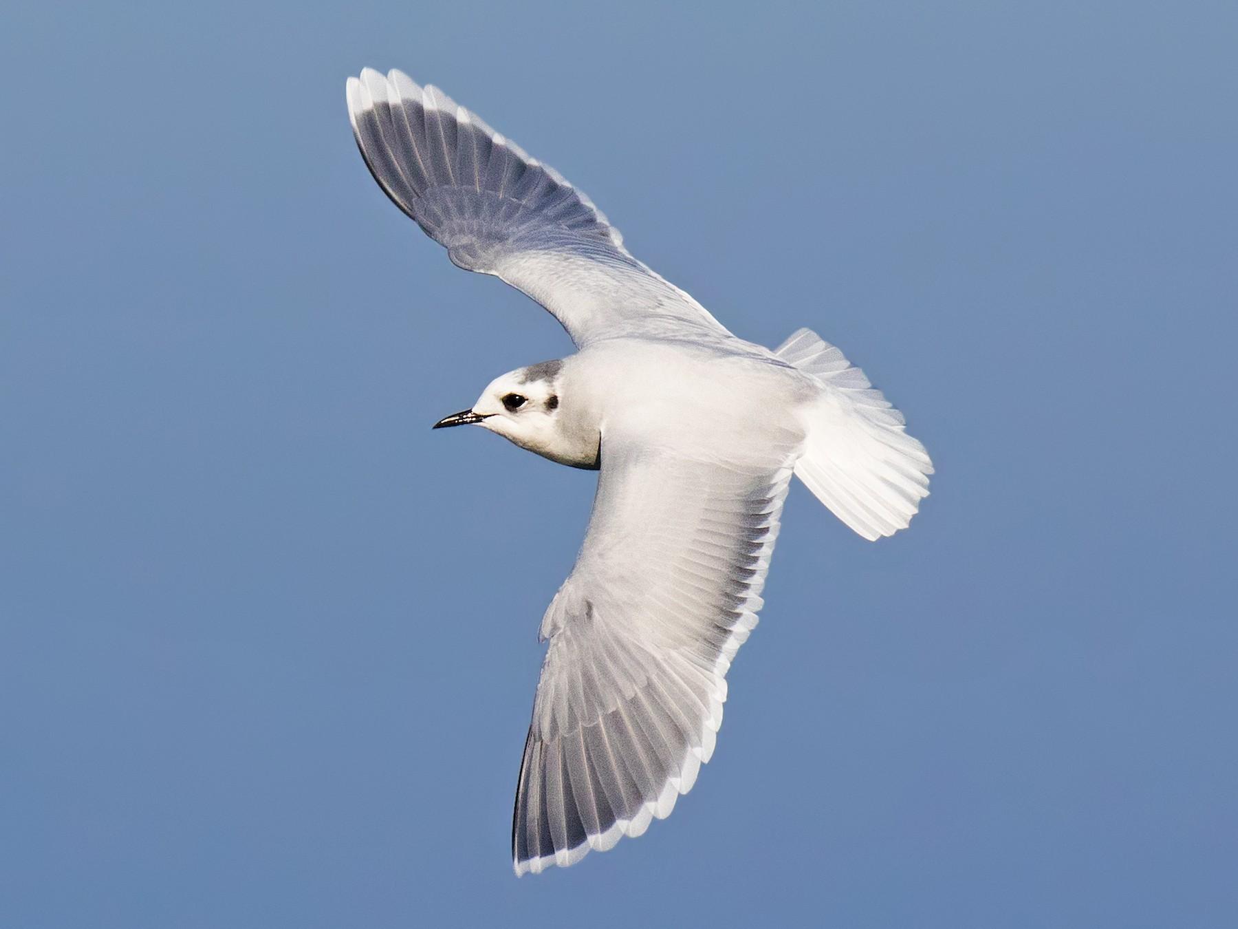 Чайка малая в Курской области