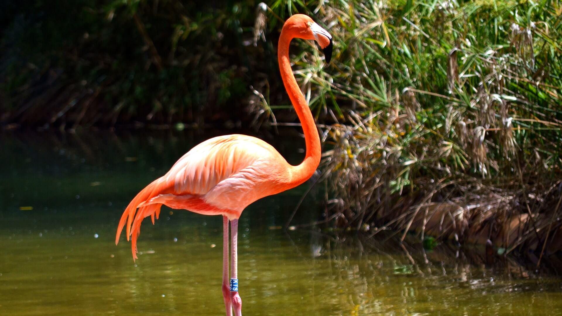 Фламинго в Иркутской области фото