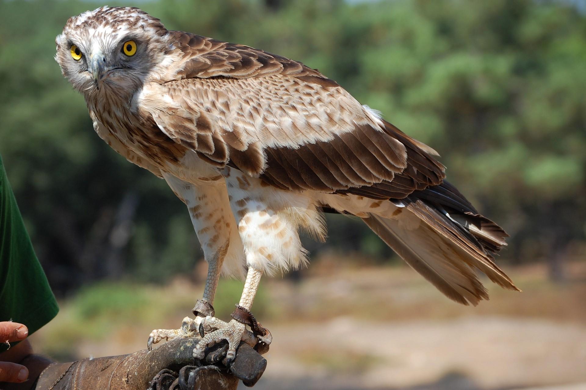 Орел-карлик в Иркутской области фото