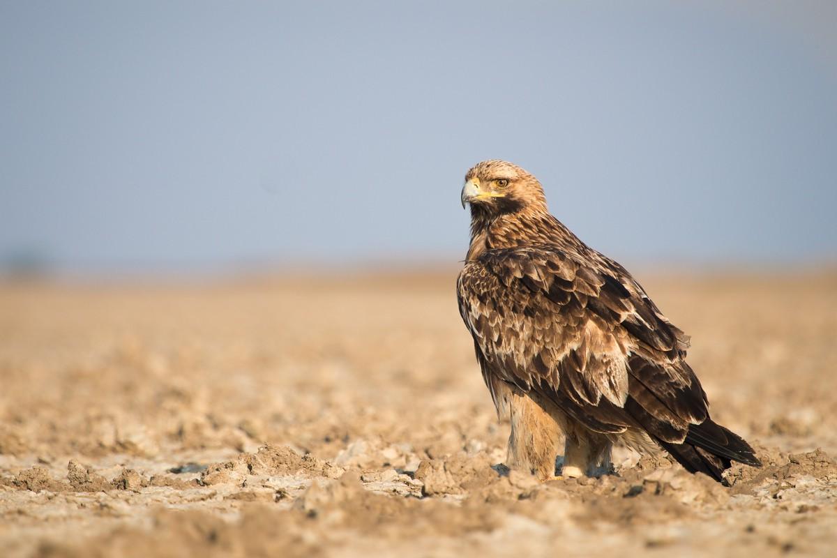 Орел-могильник в Иркутской области фото