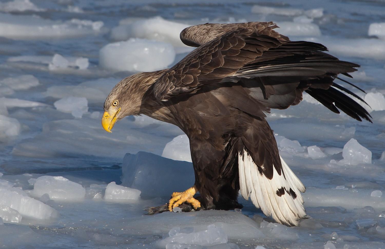 Орлан-белохвост в Иркутской области фото