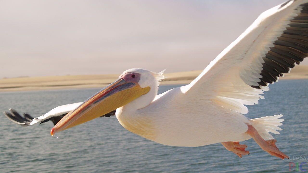 Розовый пеликан в Курской области