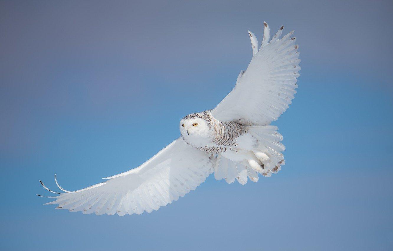 Белая сова в Нижегородской области