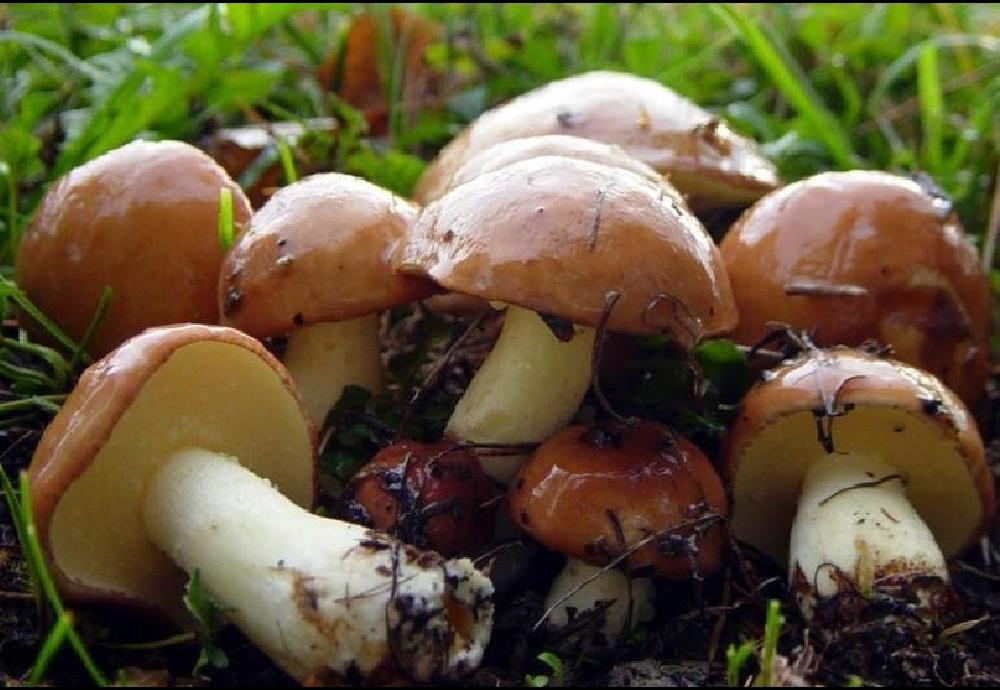 Масленок зернистый в Краснодарском крае и Адыгеи фото