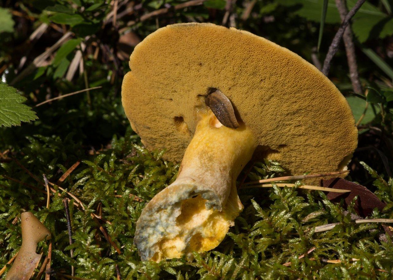 Масленок желто-бурый в Краснодарском крае и Адыгеи фото